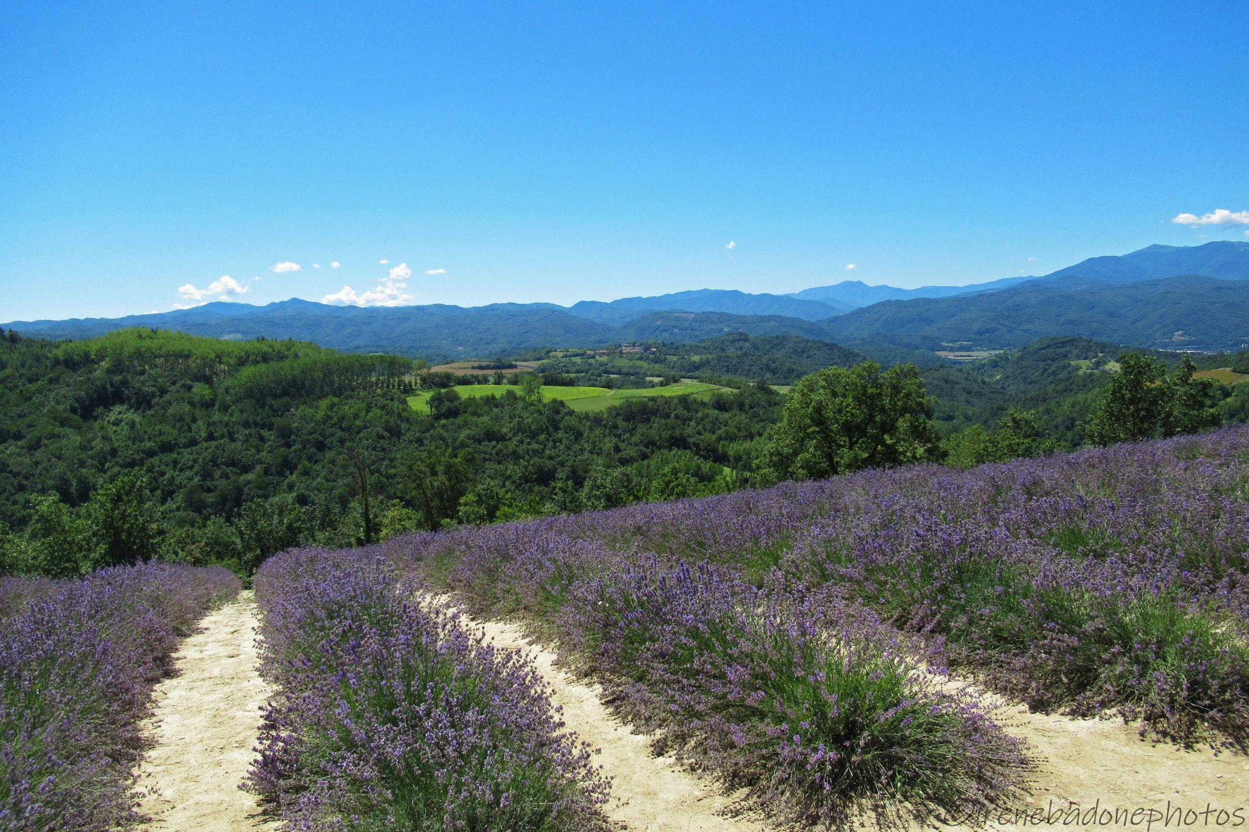 Eccezionali campi di lavanda sulle colline delle Alte Langhe