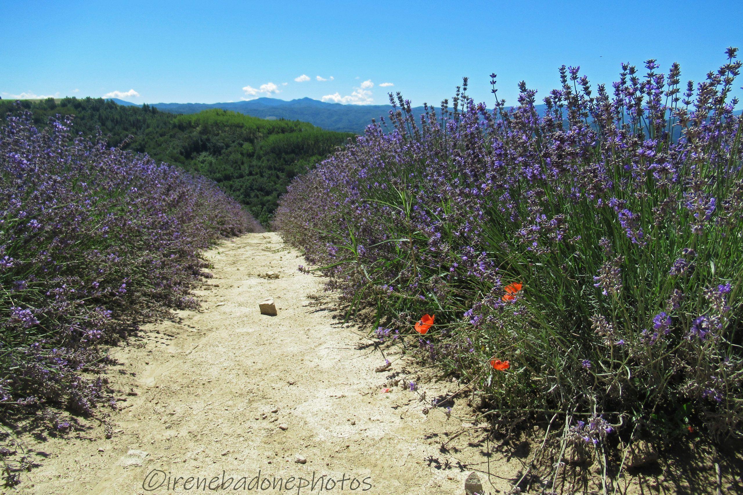 Si può ammirare la lavanda fiorita da inizio giugno a metà luglio
