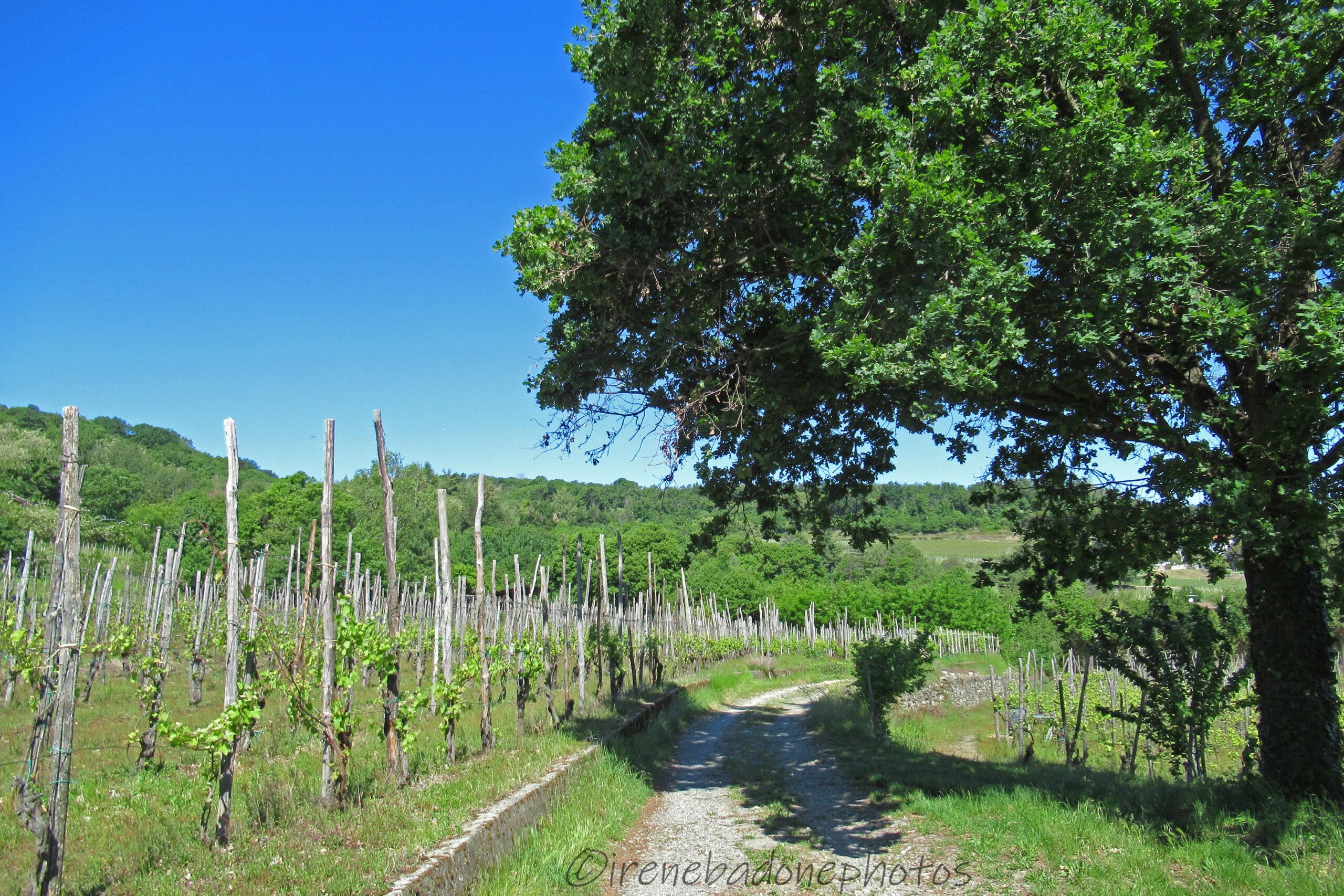 Sentiero tra le vigne che conduce alla frazione di San Secondo