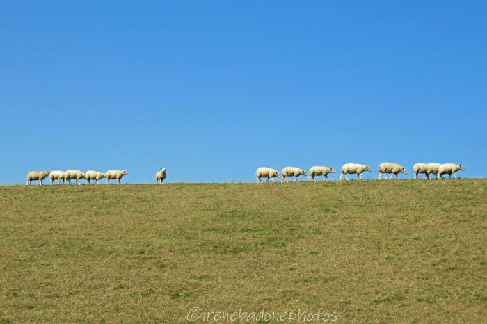 Le pecore sfilano sulla cresta della duna